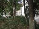 Luminisul de la Biblioteca Bucovinei, condamnat la genocid dendrologic. Vineri 23 sept. 2011